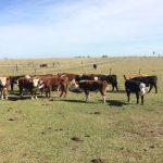 vacas en el campo